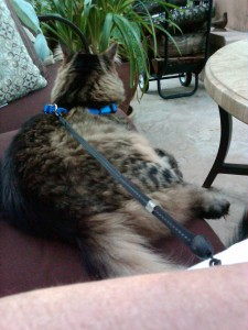 Maine Coon Cat, findingourwaynow.com