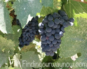 Wine Grapes On The Vine Image